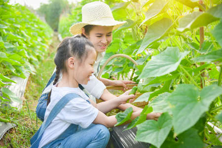 Little asian girl with her mother picking cucumber in garden together. Standard-Bild