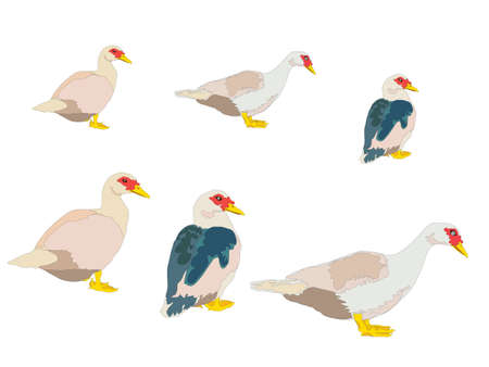 Duck Family on illustration graphic vector