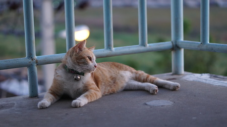 Tabby Yellow Cat; Thai domestic cat comfortable sitting and Absent-minded