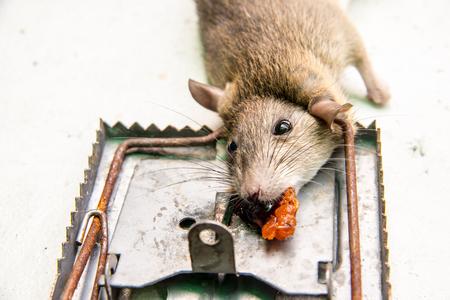 dead rat killed by rat-trap