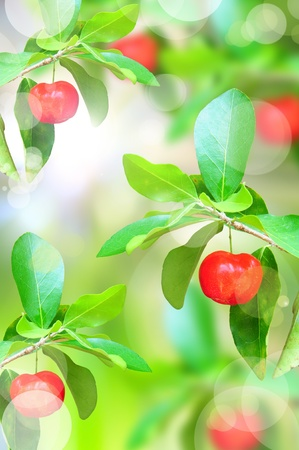 red ripe cherries on tree branch in the garden photo
