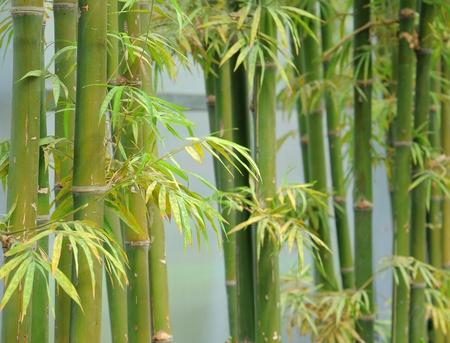 japones bambu: bambú verde