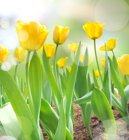 beautiful yellow tulips with light reflect in morning photo