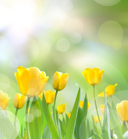 april flowers: beautiful yellow tulips with light reflect in morning