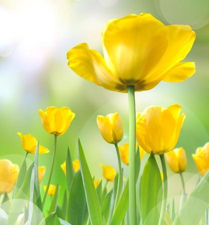 beautiful yellow tulips photo