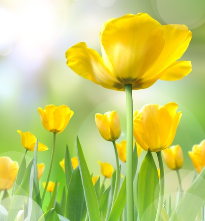beautiful yellow tulips photo