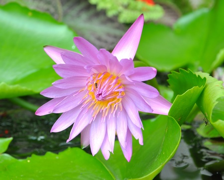 Blooming pink lotus flower photo