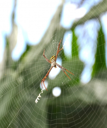 Close up of a golden orb spider on web photo