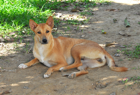 stray dog: thai dog on the garden