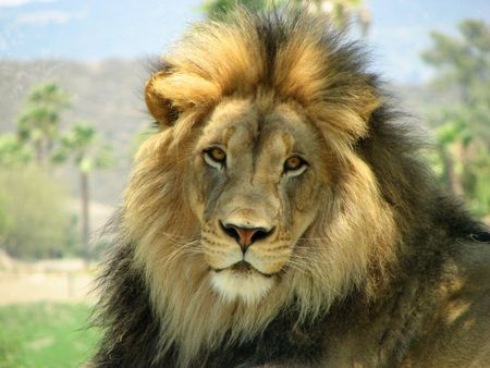 lion face: top of the food chain african animal cat mane male lion face