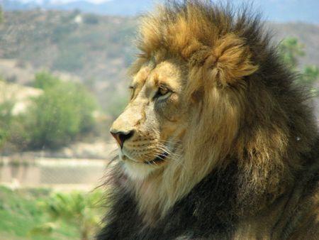 king of the jungle beast lion mane male profile panthera leo cat majestic Banco de Imagens