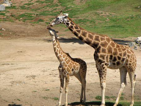 mother  offspring giraffe caring giraffa camelopardalis african animal mammal tall long neck