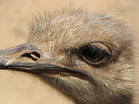 ostrich face eye beak struthio camelus close up african bird flightless tall Reklamní fotografie