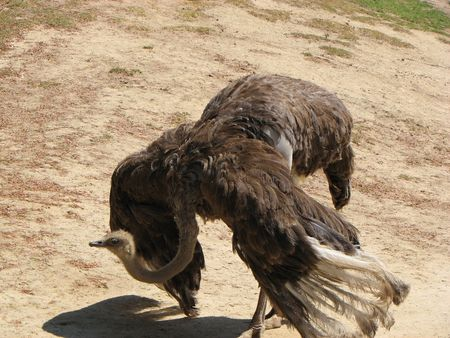 ostrich struthio camelus large bird flightless tall mating dance submissive bowing wings spread Imagens