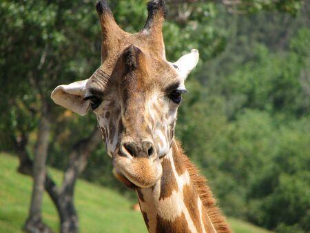 sneer: giraffe sneer sneering giraffa camelopardalis african animal mammal tall long neck