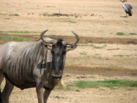 eastern white-bearded wildebeest gnu connochaetes taurinus albojubatus large antelope horns beard striped african animal Stok Fotoğraf