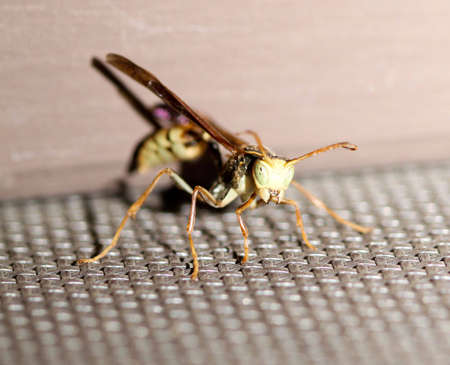 abdomen yellow jacket: What are YOU looking at wasp?