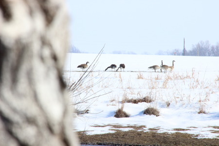 ocas: Gansos en la nieve Foto de archivo
