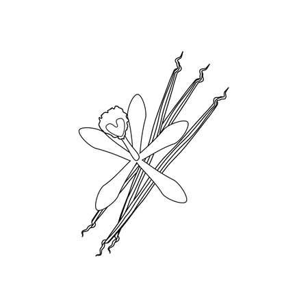 flor de vainilla: Ilustraci�n de la flor de la vainilla en el fondo blanco. ilustraci�n vectorial