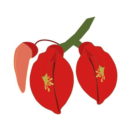 Erythrina flowering plant on the white background. Vector illustration Illustration