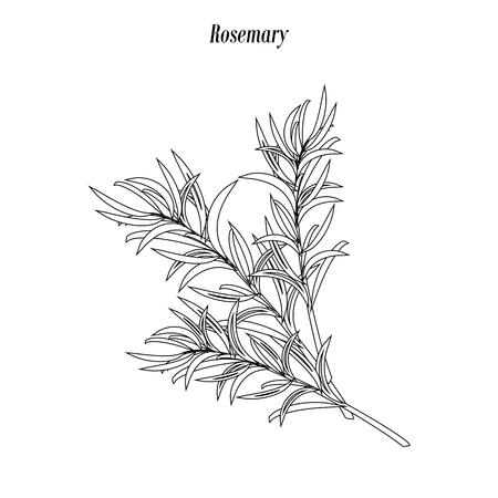 Esquema de ilustración de romero sobre fondo blanco. Ilustración vectorial