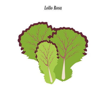 Lollo rosa lettuce illustration on the white background. Vector illustration