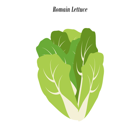 Romain lettuce illustration on the white background. Vector illustration Ilustracja