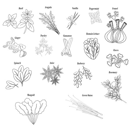 Herbs and greens and spices illustration outline on the white background. Vector illustration