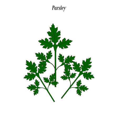 Parsley green illustration on the white background. Vector illustration