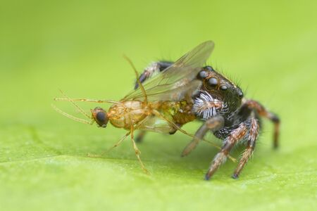 cute baby jumping spider eating prey on green leaf background in nature Stok Fotoğraf