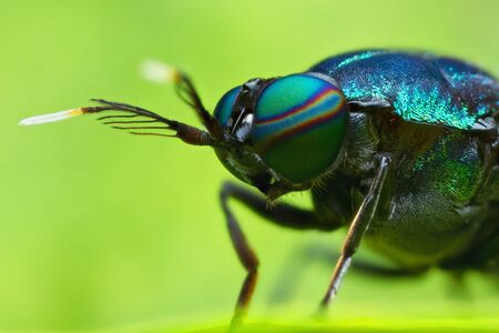 extreme magnified soldier fly head and eyes