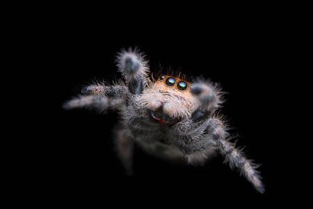 jumping spider jump in the air with black background in nature Stok Fotoğraf