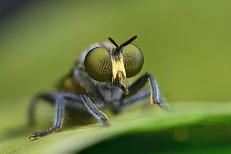robber fly on green leaf in nature