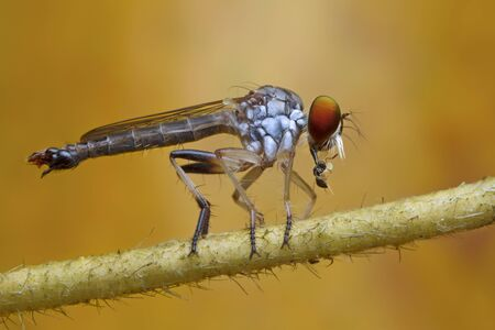 robber fly and prey in nature