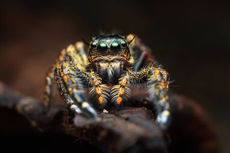front view portrait with extreme magnified details of colorful jumping spider with brown leaf background