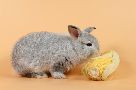 baby cute brown easter bunny rabbit eating corn on orange background Stok Fotoğraf