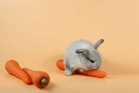 baby cute brown easter bunny rabbit eatting carrots on orange background
