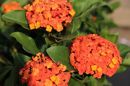 The green leaves and orange flowers Imagens