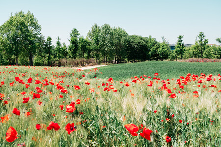 Red poppy blooming on green field in Bucheon Sangdong Lake Park, Korea Stock Photo