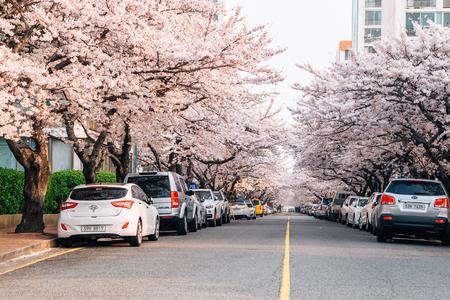 Busan, Korea - April 2, 2016 : Namcheon-dong cherry blossoms road