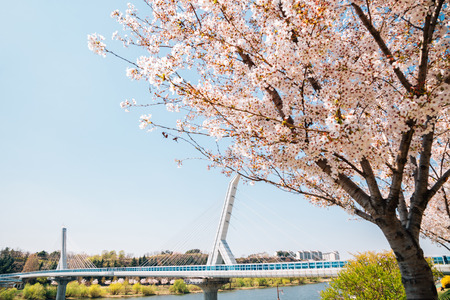 Dongchon riverside park, Cherry blossoms and bridge in Daegu, Korea 写真素材