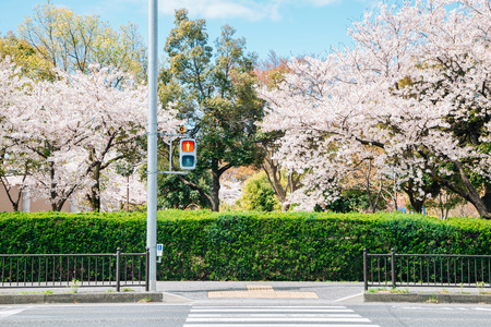 Crosswalk and cherry blossoms spring park