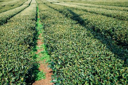 Green tea field in Jeju Island, Korea Stockfoto