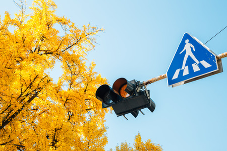 Traffic lights and ginkgo trees