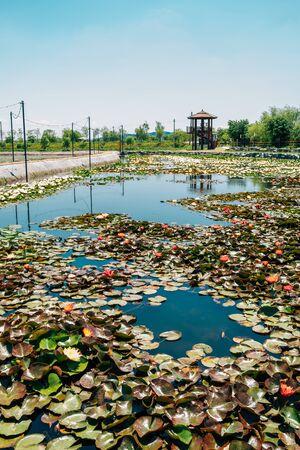 Lotus field and pavilion at Wangsong Lake park in Uiwang, Korea Zdjęcie Seryjne