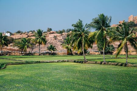 Green paddy field with palm trees in Hampi, India