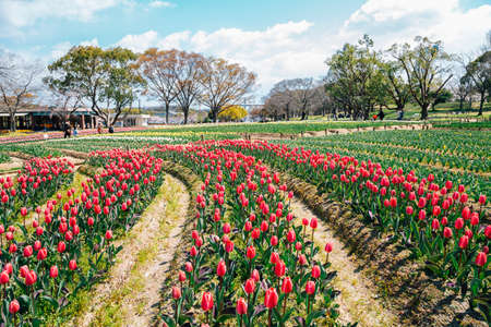 Tulip flower field at Expo '70 Commemorative Park in Osaka, Japan