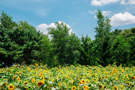 Sunflower field with green tree forest in Korea
