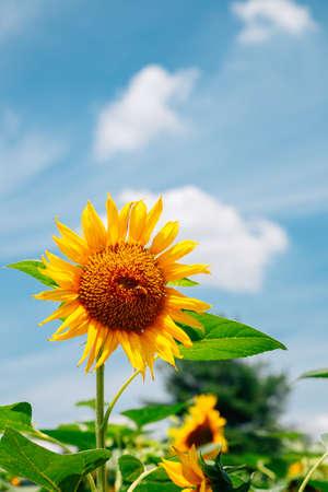 Yellow sunflower under blue sky in Korea