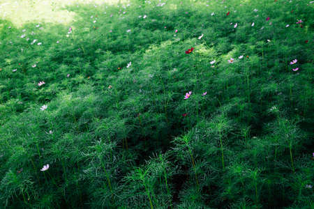 Green field with cosmos flower in Korea